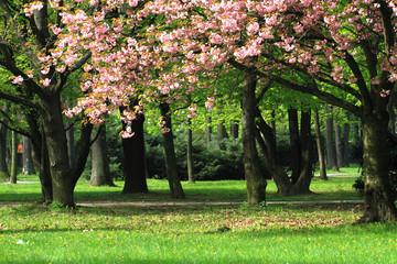 cherries flowers on the tree