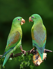 Orange-chinned parakeets with banana on their beaks
