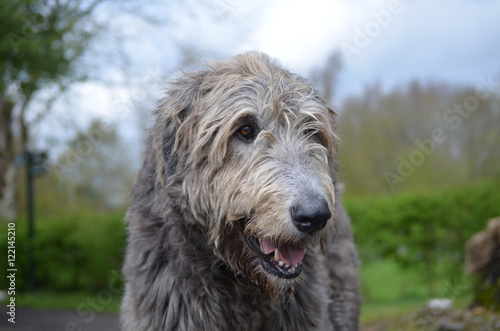 """""""Gorgeous Irish Wolfhound Dog with a Thick Silver Coat ..."""