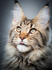Portrait of domestic black tabby Maine Coon kitten - 5 months old. Kitty licking lips after eating a treat. Beautiful young cat showing tongue on grey background.