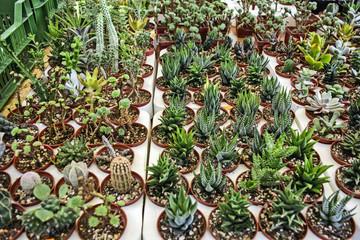 Sale of mini cactus