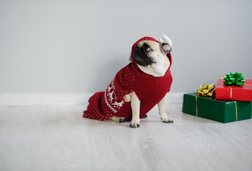 The amusing doggy of breed pug is dressed by a holiday in reindeer suit.