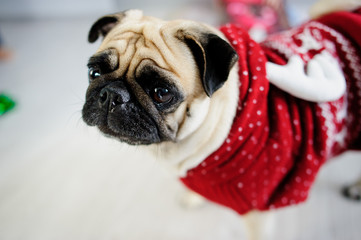 Amusing doggie of breed pug in a reindeer suit.