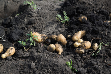 Freshly dug potatoes lying on ground
