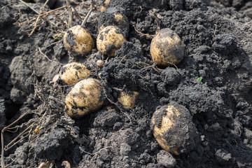 Freshly dug potatoes lying on ground