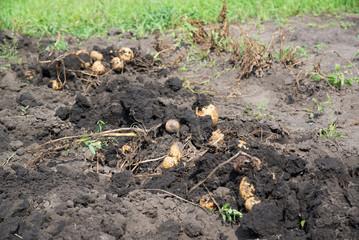 Freshly dug potatoes lies on bed