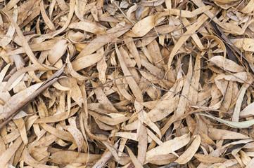 Hojas secas de eucaliptos