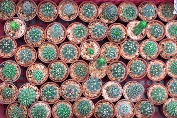 Cactus at the nursery