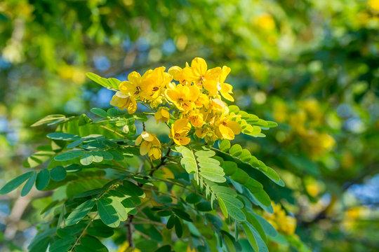 Close-up of flower of Scrambled Egg Tree - Senna surattensis (Burm.f.) under sunlight.