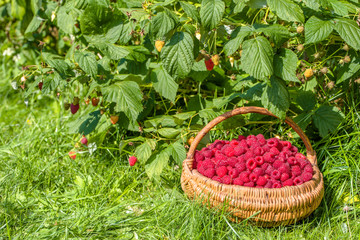 Summer berry harvest, raspberry in the basket