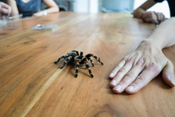 Mexican tarantula crawling on wooden table, in front of a hand
