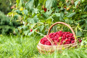 Fresh raspberry basket in the garden