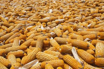 Mais, zum trocknen ausgelegt