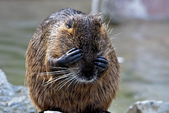 Biber - Beaver - Castorimorpha - Euarchontoglires