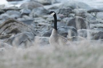 Canada Goose at provincial park, Riverton, Hecla Grindstone Prov