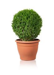 Buxbaum