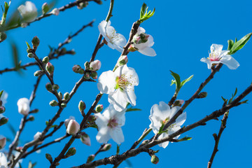 Almond blossoms on a blue sky background..