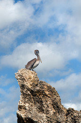 grey pelican on the rock