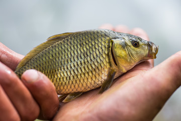 Small carp lying in the palm of the fisher.