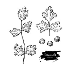 Coriander vector hand drawn illustration set. Isolated spice obj