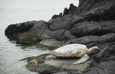 Green Sea Turtle (Chelonia mydas) resting on hardened pahoehoe lava along ocean shore; North Kona, Big Island, Hawaii, United States of America