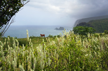 Pololu Valley Lookout With A Horse (Mule) Grazing On Hillside Overlooking Ocean; Island Of Hawaii, Hawaii, United States Of America