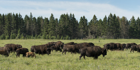 Kudde bizons wandelen in een veld, Lake Audy Campground, Riding M