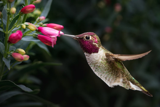 Male Anna's hummingbird visit flowers