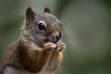 closeup of a red squirrel eating dark green background