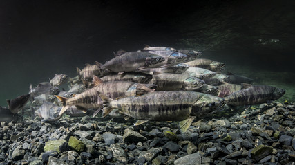 Pink and Chum salmon (Oncorhynchus gorbuscha and O. keta) summer spawning migration in a tributary of Prince William Sound, Alaska.