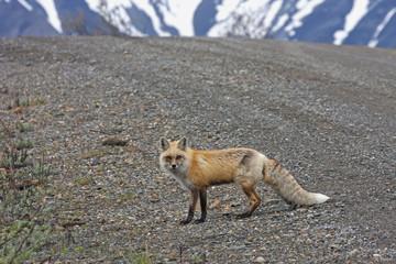 Red Fox (Vulpes vulpes) near park road in Denali National Park; Alaska, United States of America