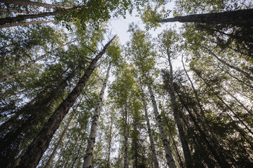 Skyward view of tree canopy, Chena Lake Recreation Area, Interior Alaska