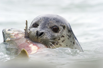 Seal with Silver Salmon in it's mouth; Valdez, Alaska, United States of America