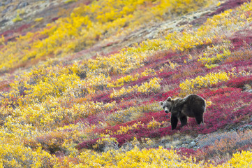 Grizzly bear eating berries in autumn