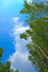the green bamboo grove, blue sky & cloud /
