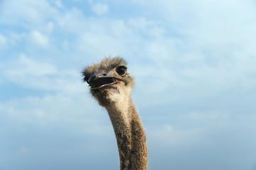 Head of an ostrich.