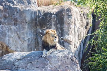 Male Lion on a Rock
