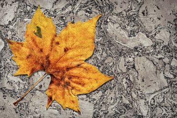 Dray Maple Leaf On Cork Tile Grunge Background