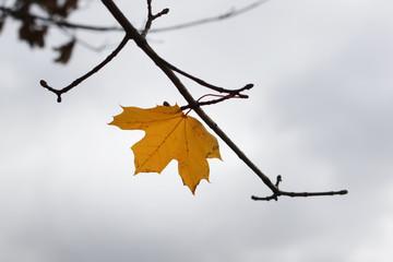 Autumn maple leaves on a tree
