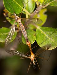 Macrophotographie d'un insecte: Tipula sp (accouplement)