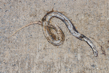 Carrion Snake crushed by car on road.