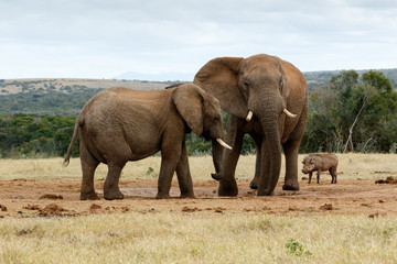 I told you no it is my water - The African Bush Elephant