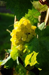 bunch of white grapes on the field, in a vineyard in Tuscany, near Florence, Italy