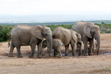 Watering Hole Momy Love The African Bush Elephant Familie