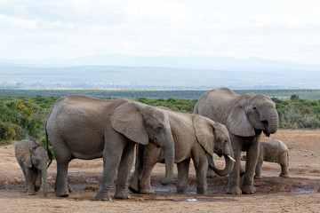 Watering Hole Madness by The African Bush Elephant Familie