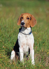 Puppy of the Estonian hound in field