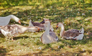 Flock of geese looking for food in the grass