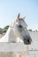 Weißes Pferd auf der Koppel vor blauem Himmel