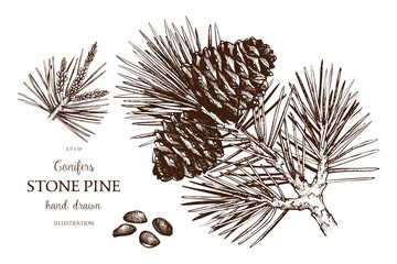 Vintage Stone pine illustration. Hand drawn Cedar sketch on white background. Vector conifer tree.