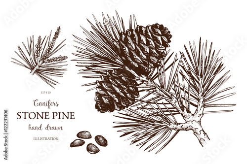 Vintage Stone Pine Illustration Hand Drawn Cedar Sketch On White Background Vector Conifer Tree